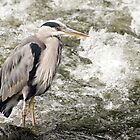 Heron by BrianLanigan