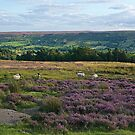North Yorkshire Moors by John (Mike)  Dobson