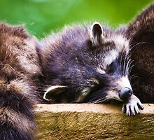 Sleeping racoon by peterwey