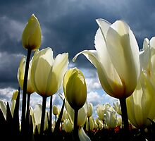 BLUE SKIES AND TULIPS by MsLiz