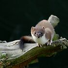 Stoat (Mustela Erminia) by FoxfireGallery / FloorOne Photography