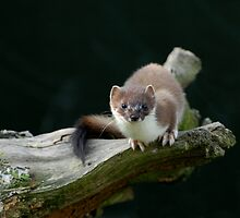 Stoat (Mustela Erminia) by ©FoxfireGallery / FloorOne Photography