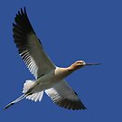 Avocet breaks through blue by Normcar