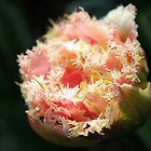 Pink Parrot Tulip by strangecharmart