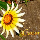 Gazania by Vic Cross