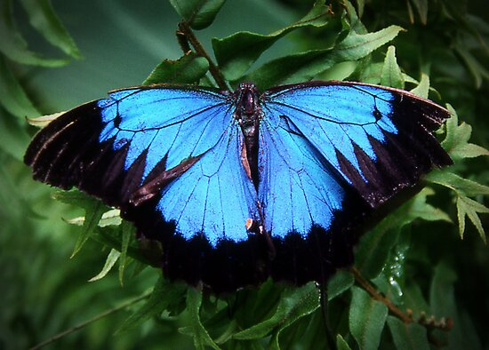 Butterfly of the Tropics by Roz McQuillan