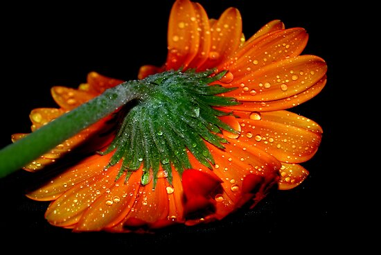 Orange Gerbera by Tanya Wallace