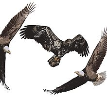 Isolated American Bald Eagles-1  by Thomas Young