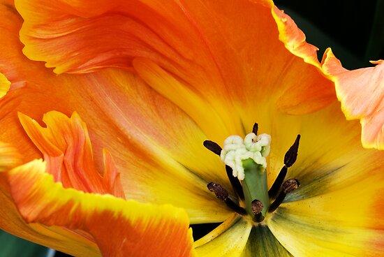 """Parkeit (Parrot) Tulip """"Professor Rontgen"""" by Alison Cornford-Matheson"""