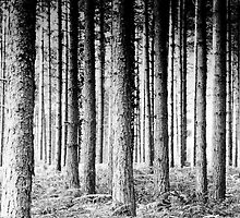 Pine Forest by Anne Staub
