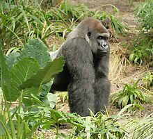 Silverback Gorilla at Disney's Animal Kingdom by LindaMac