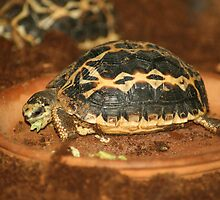 Spider Tortoise  by LindaMac