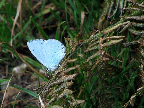 A Holly Blue by Sharon Perrett