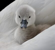 Cygnet by Captivelight