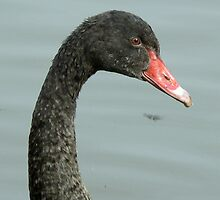 Abraham The Black Swan Cygnet by AARDVARK
