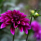 Dahlia and Bud by mrshattery