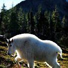 Mountain Goat Profile, Glacier NP by artsphotoshop