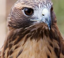 Redtail Hawk 2 by John Wright