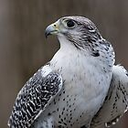 Gyrfalcon 3 by John Wright