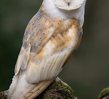 Barn Owl by Captivelight