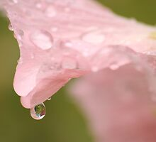 Hollyhock Droplet by Pamela Jayne Smith