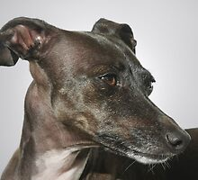 Piccolo Levriero Italiano - The Italian Greyhound by Christine Till  @    CT-Graphics