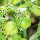 Green Tomatoes by pamela11