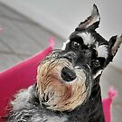 The Miniature Schnauzer - Brave and Funny by Christine Till  @    CT-Graphics