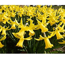Daffodils 1 by Amber Feng Shui Art Photographic Print