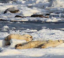 Polar Bear Mother & Cub Grooming Enthusiastically  by Carole-Anne