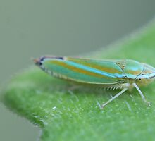 Tiny Leafhopper Looking Large on Cucumber Leaf by Bonnie Boden