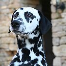 Sid the Dalmation Dog 2 by Pamela Jayne Smith