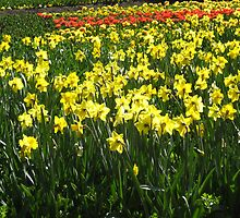 Field of Yellow Daffodils by DPrior