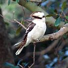 Kookaburra Sitting in a Tree by echelle23