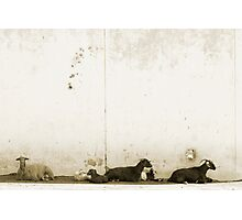 Trio of goats Photographic Print