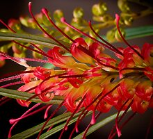 Grevillea Macro 3 by MiImages