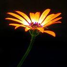 Shining Tulip by jonnikray