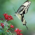 Giant Swallowtail III by Donna Adamski