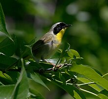 Male Common Yellow Throat Warbler 2 by John Absher
