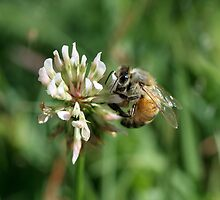Bee on clover by Coriena