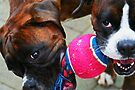 Sharing -Boxer Dogs Series- by Evita