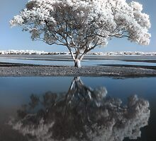 Infrared tree, Redcliffe, Queensland by David James