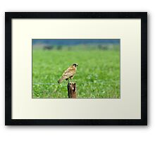 Brown Falcon from the Silver Falcon 1 Framed Print