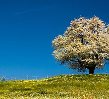 Single blossoming tree by peterwey