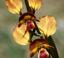 Diuris orientis - Mt Barker Summit by LeeoPhotography