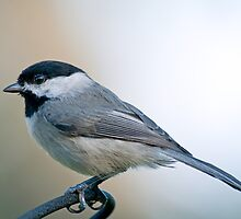 Carolina Chickadee on Sunday Morning by Bonnie T.  Barry