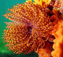 Edithburgh Fan Worm by Matt Gibbs