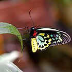 Cairns Birdwing Butterfly by patapping