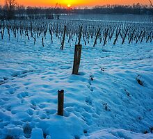 Sunset on snowy vineyard by jordygraph