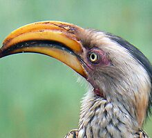Southern Yellow-billed Hornbill by AARDVARK